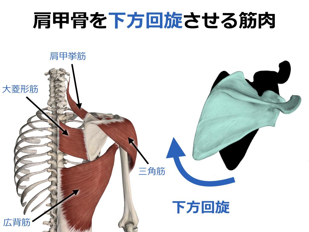 【ストレッチ】肩甲骨を下方回旋させる筋肉のストレッチ ...