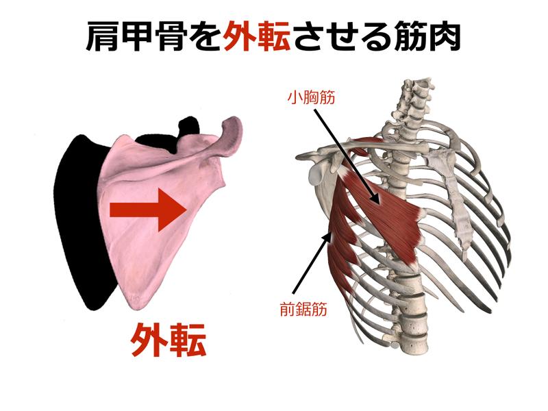 【ストレッチ】肩甲骨を外転させる筋肉のストレッチまとめ ...