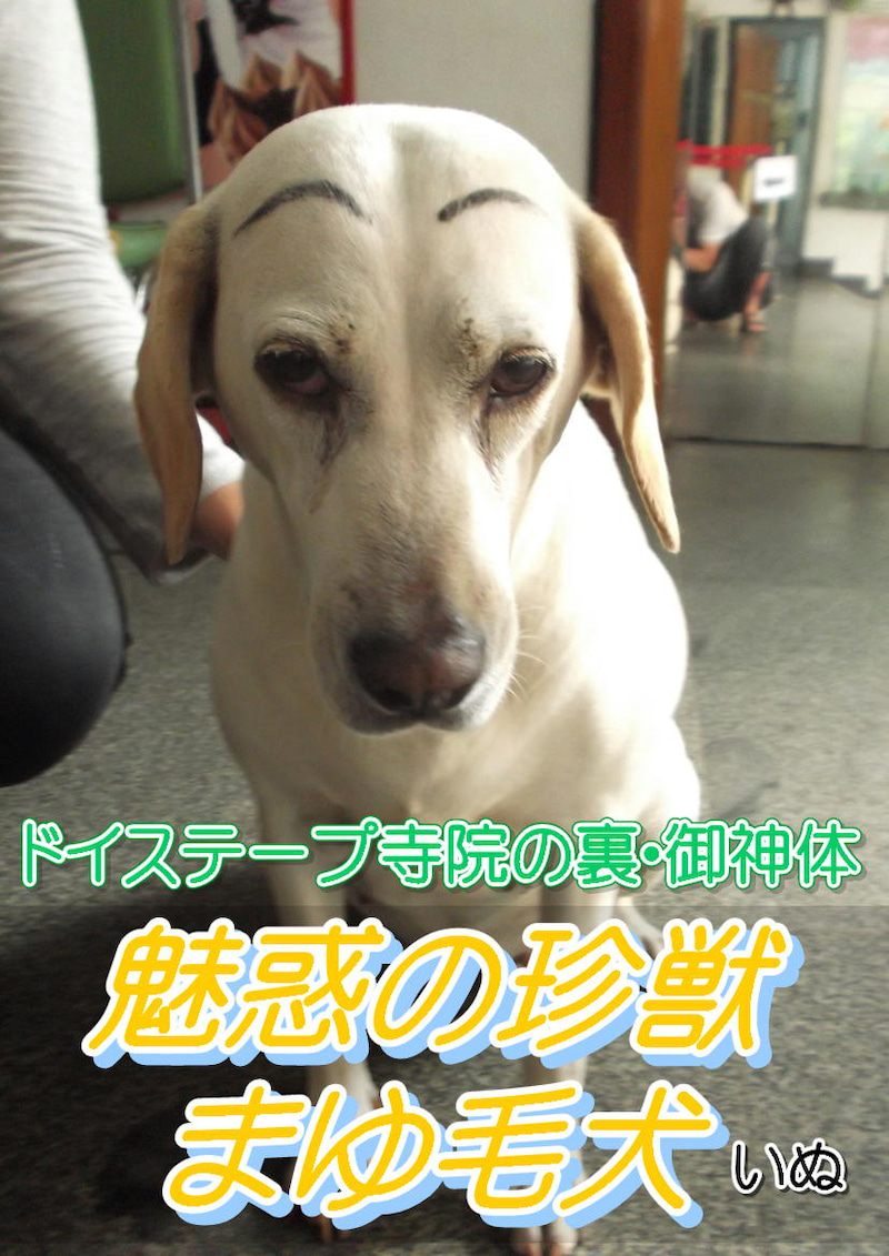 チェンマイ旅行☆トークセン施術&珍獣まゆ毛犬01