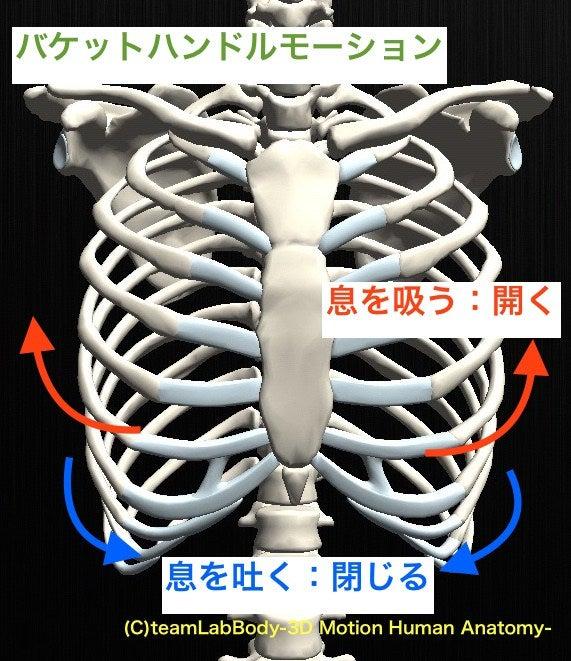 胸郭の解剖