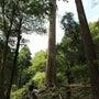 北山杉の大黒柱