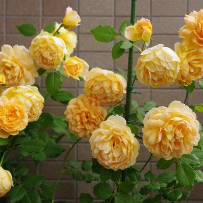 ゴールデンセレブレーションやっぱり良い香りの記事に添付されている画像