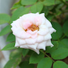 薔薇が咲いたの画像