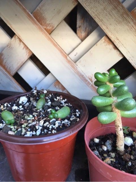 緑亀のたまご(多肉植物)