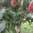 黄桃&桃を楽しむイタ…