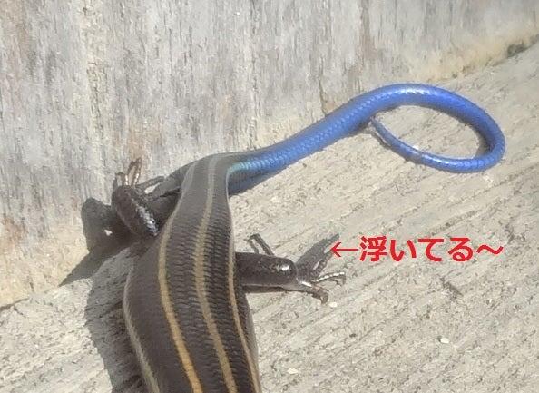 青い 尻尾 トカゲ が
