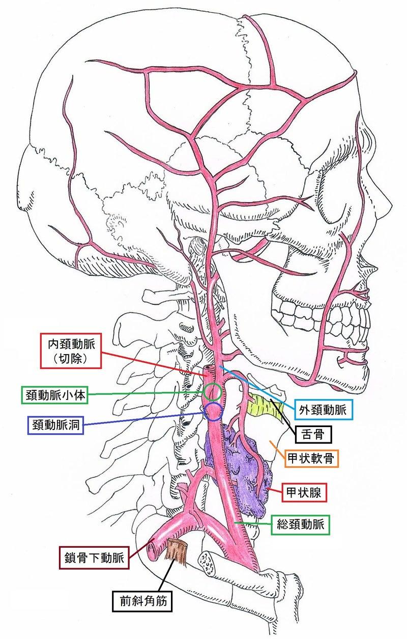 きゅうの独り言総頚動脈と頚部のイラスト