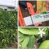 有田みかんの摘果体験の画像
