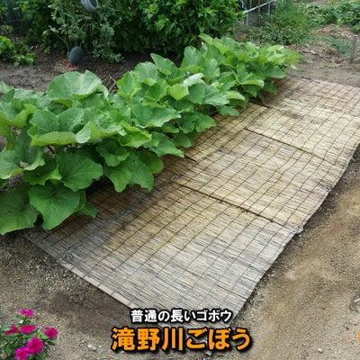 ゴボウ波板栽培チャレンジ!-追肥3回目の記事に添付されている画像