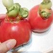 本日の野菜