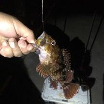 ここ最近のカサゴ釣に…