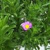 やまじ野菊の画像