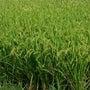稲刈り体験&「晴れの…