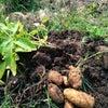 楽しい!ジャガイモとにんじんの収穫の画像