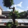庭の木が暑苦しかったのでの画像