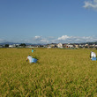 稲刈り前の除草