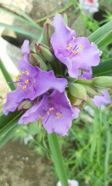 紫露草170910_1054~02.jpg