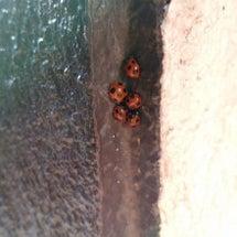 てんとう虫の家族 1…