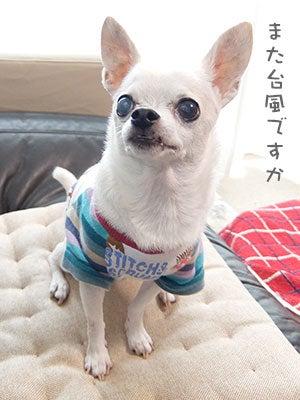 20170912チワワの小太郎