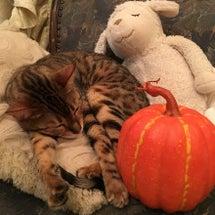 カボチャと猫と、癒し…