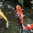 半月庵のお庭の鯉