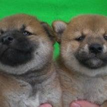 柴犬産まれてます。ビ…