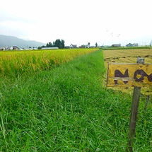 いよいよ29年産米刈…