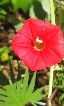 縷紅草170918_1035~01.jpg