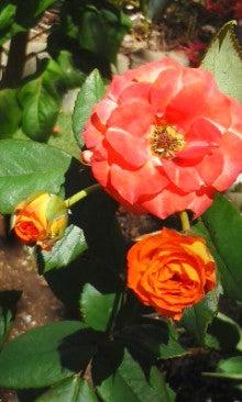 ミニ薔薇170918_1102~02.jpg