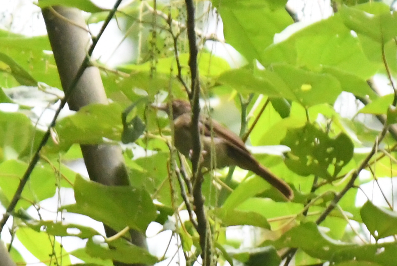 joblog2のブログボルネオ鳥見紀行(69) ポーリン温泉『キゴシハナドリモドキ』 『ヒメオナガバト』