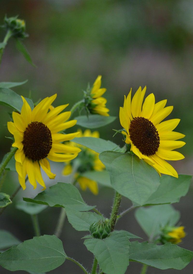 ひまわり 花 言葉 「ひまわり(向日葵)」の花言葉とは?意味や使い方をご紹介
