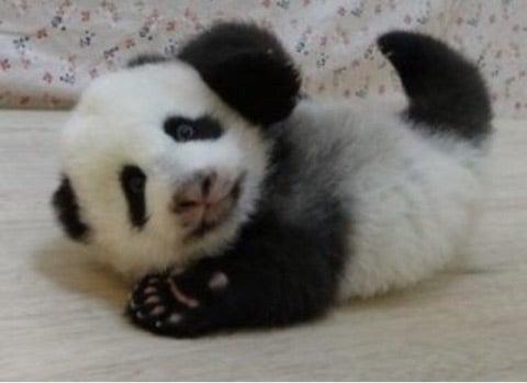 パンダの赤ちゃん(上野動物園)シャンシャンちゃん♡