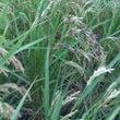 お米の収穫~(^^♪