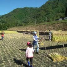 2017' 稲刈り