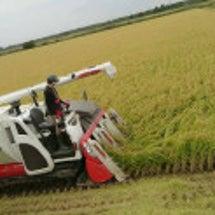 稲刈り始まりました