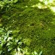 お庭の苔で苔玉を作り…
