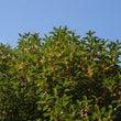 キンモクセイが咲きま…