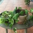 観葉植物のお世話。。…
