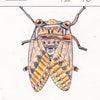 【たくみ大図鑑144】295 リュウキュウアブラゼミ、296 ハマビワの画像