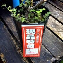 地植えにした処分苗フ…