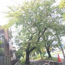 桜の伐採。