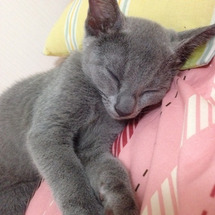 【愛猫ロシアンブルー…