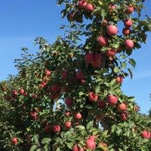 初めてのリンゴ 狩り…