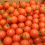 有機栽培ミディトマト