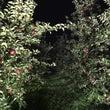 夜のりんご祭り