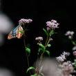 ★美しい渡りの蝶アサ…