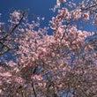 南半球では春のお花見…