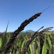 棚田に広がる古代米 …