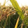 10月9日 朝露の稲…