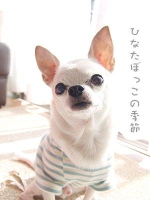 20171009チワワの小太郎